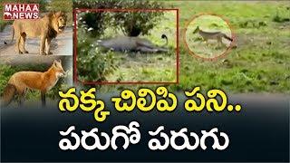 Jackal bites Lion tail, video goes viral..