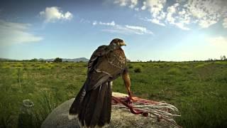 Addestramento al falco in Italia - Falcon training in Italy