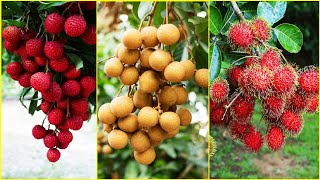 Tropical Fruit Farm Harvest - Lychee, Longan, Rambutan Harvesting - Amazing Agriculture Technology