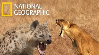 Lions Vs Hyenas Endless War - National Geographic Documentary 2015