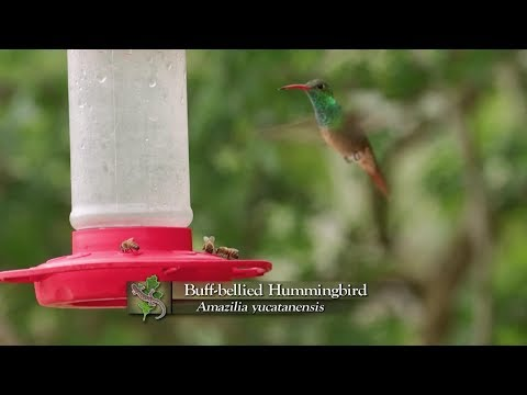 screenshot of youtube video titled Buff-Bellied Hummingbird And Red-Naped Sapsucker | Expeditions Shorts (small thumbnail)