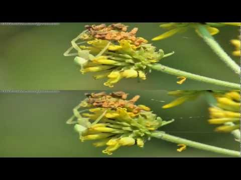 3D Camouflaged Caterpillar Vs. Crab Spider