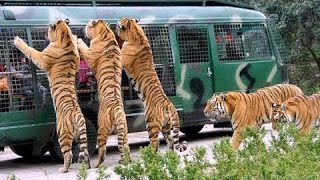 Angry Royal Bengal Tiger Comes to Forward of Safari Bus | A Full Day tour Bangabandhu Safari Park