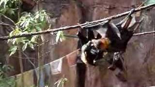 Giant Bats - Madagascar - Two Males