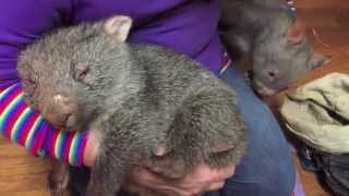 Two wombats in a pouch