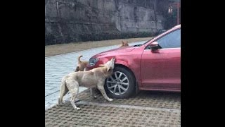 Animals Are Mean Sometimes 15  - Dogs Bite Cars