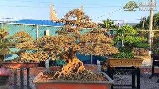 Bonsai nhà vườn Tướng Phước Thiện, Quy Nhơn