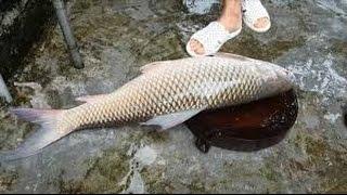 Mồi câu cá trôi Digan( trôi trắng) và trôi đỏ (trôi Ấn Độ ) Hiệu quả - - Fishing - Đam mê câu cá.