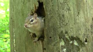 Danger Awareness (Chipmunk&Red Squirrel)