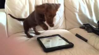 ZA DOBRO JUTRO: Kad dodirne šapicama ajped, čuje se lavež! Ovo je najslađe štene na svetu (VIDEO)
