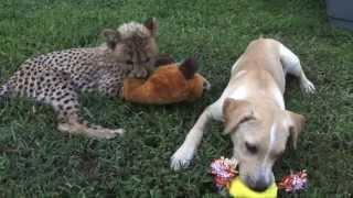 Kumbali and Kago, Cheetah Cub & Puppy Friendship