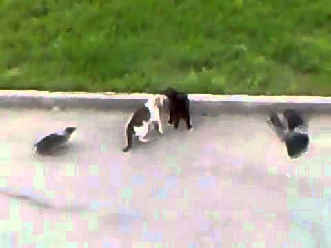 Mačke i gavrani