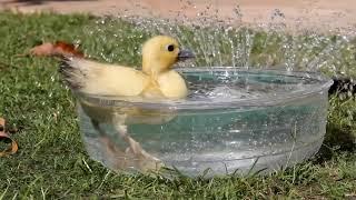 baby ducks, ducklings, cute animal pets