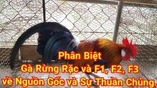 Phân Biệt Gà rừng Rặc và F1, f2, f3, nguồn gốc và sự thuần chủng - the forest chicken in Vietnamese