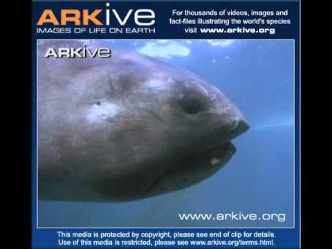 Самая редкая акула в мире - большерот