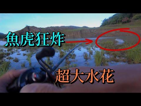 這裡的魚虎超級兇,狂暴水花絕無冷場...曾文打虎,多蔓,掠食虎狂咬Taiwan Toman Fishing