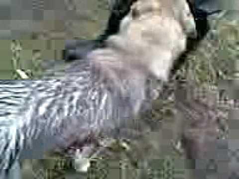 Охота на кабана. Лайку порвал кабан.