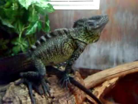 Sailfin Dragons Youtube