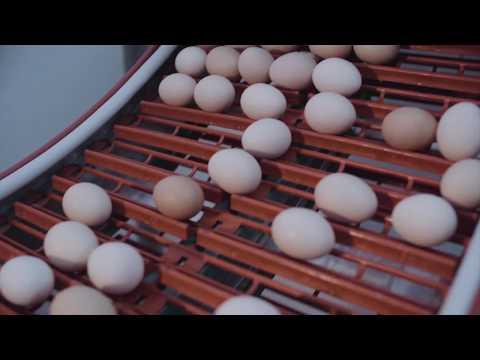 مليون بيضة طازجة يوميا لمائدتكم من دواجن الوطنية