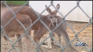 Concern Grows Over Missing Baby Kangaroo That Requires Special Care