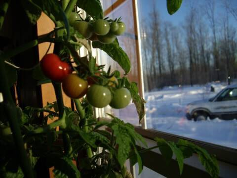 Grow A Tomato Plant Indoors In Winter Youtube