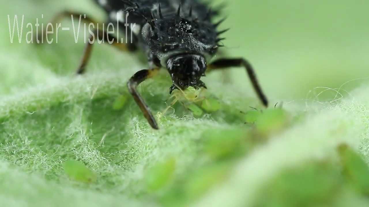 larve de coccinelle d vorant une colonie de pucerons verts du pommier youtube. Black Bedroom Furniture Sets. Home Design Ideas