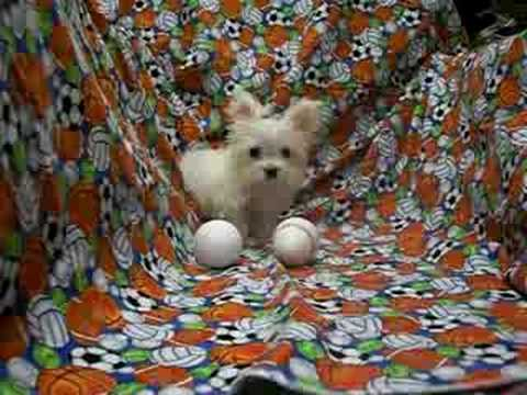 Smallest Adult Dog in the world! Micro Tiny Teacup ...