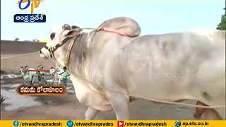 Kanuma: Ongole bulls take centre stage..
