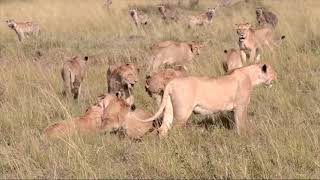 Lions and Hyenas Fighting For Their Meal #animals #wildlife