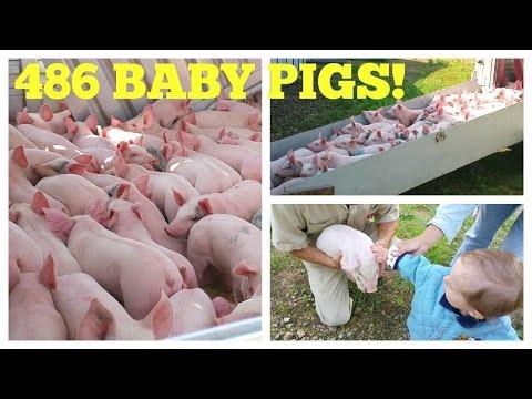 486 Baby Pigs! Hog Farm Life