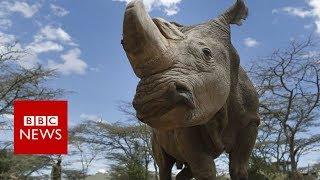 Last male northern white rhino dies in Kenya - BBC News