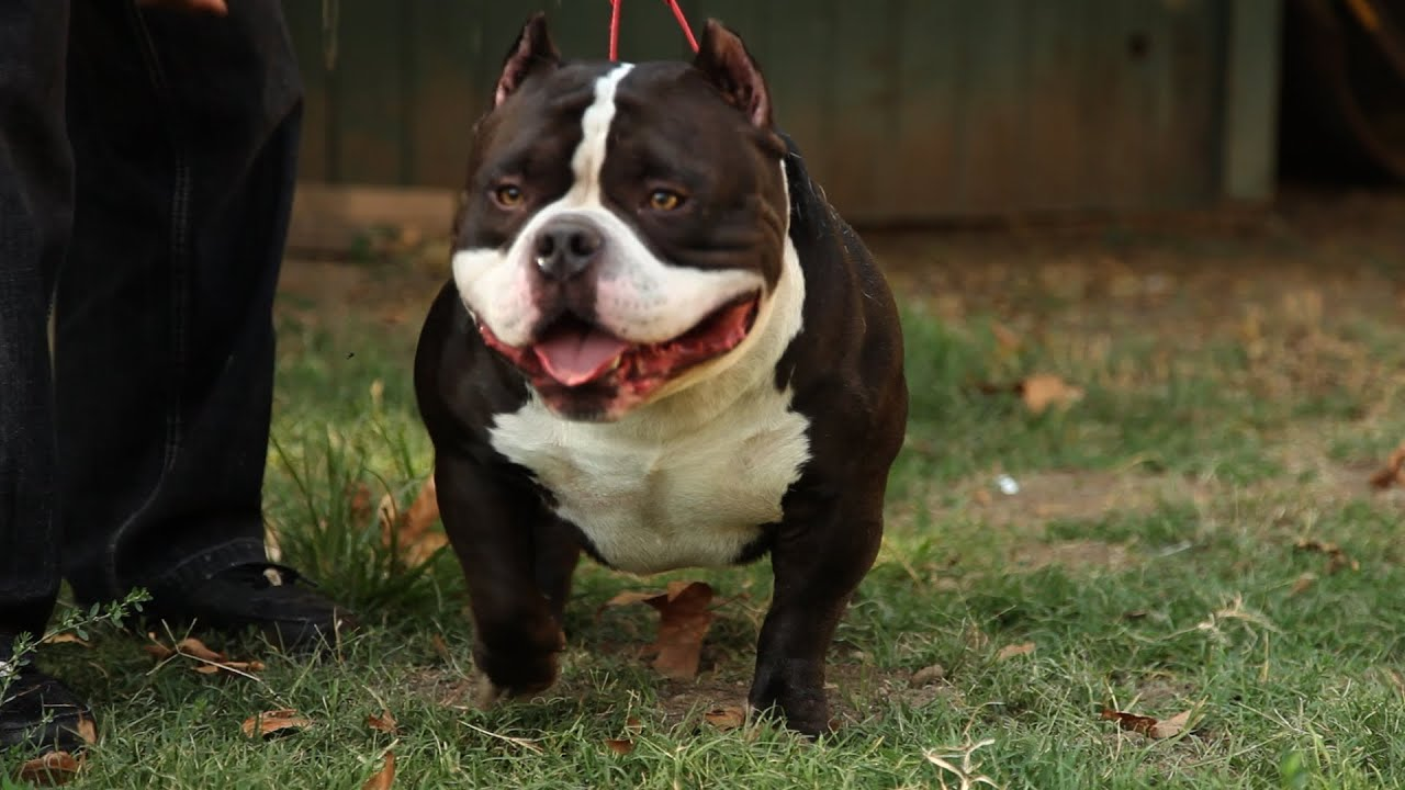American Bully Kennel Gottyline The Home Of Dax Youtube