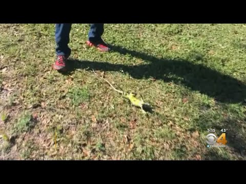 Cold Miami Weather Means A Warning Is Out To Watch Out For Iguanas Falling From Trees