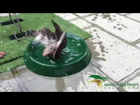 Winston the Coopers Hawk x African Goshawk Takes a Bath
