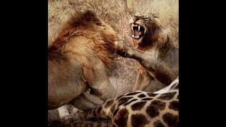 The legendary young Styx Male  lion and Majingilane Males