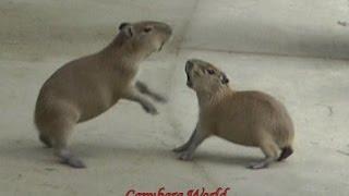 Baby Capybaras Fight to the Death Until Donguri Intervenes 赤ちゃんカピバラは死に戦います。どんぐりが介在