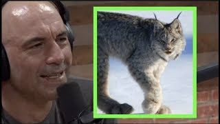 Joe Rogan on Mountain Lions, Lynx, and Sharks