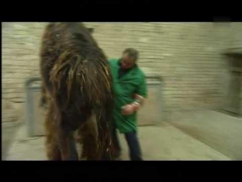 Uzimanje sperme od magarca
