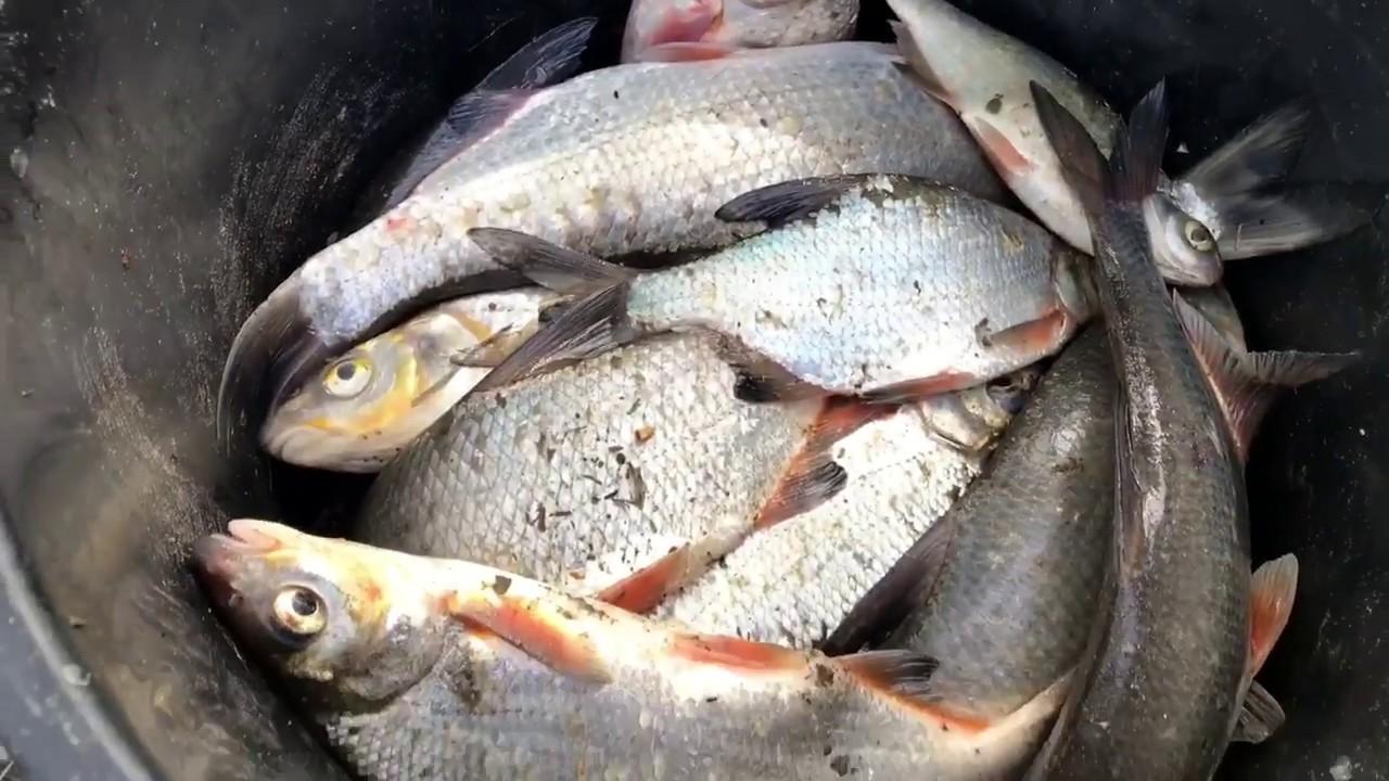 Когда и на что ловят рыбца на Дону осенью