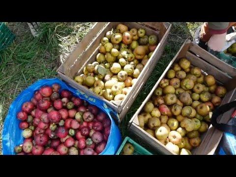 Önkéntesek szedik az almát a magukra hagyott svájci gyümölcsösökben
