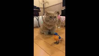 Funny Cat Gets Confused From Parrot Toy