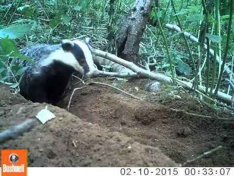 Badger caught on camera at Center Parcs Woburn Forest 2015