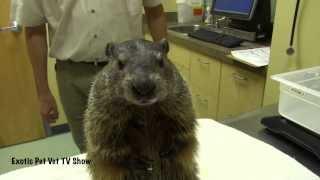 Groundhog Eating a Banana - Exotic Pet Vet Uncut