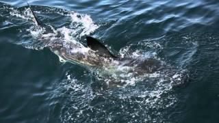 ホオジロザメ32