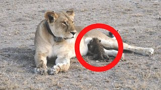 Lioness That Spots Abandoned Baby Leopard Makes A Move Experts Can't Explain
