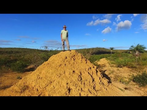 Termites rule over land the size of Great Britain in Brazil