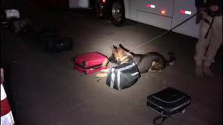 Com a utilização de cães farejadores, PRF apreende drogas dentro de ônibus em Eldorado do Sul