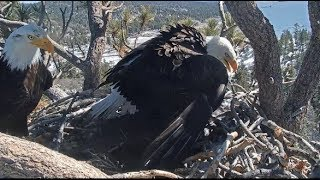 Big Bear Eagle Cam ~ Mrs BB Defends Nest From Bold Raven In SLO MO  3.9.19