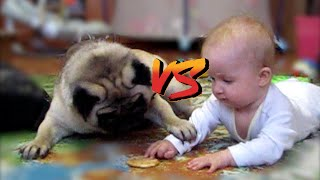 Cookie fight: Pug vs Baby