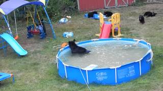 A bear family takes a dip in our pool - Part III